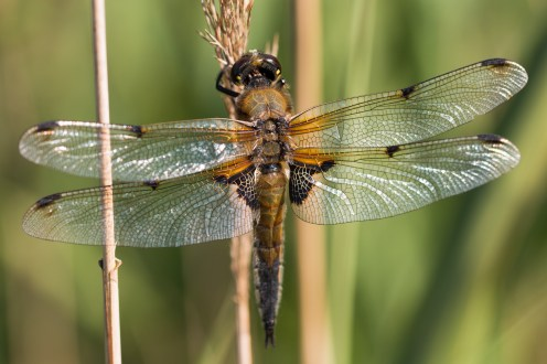 Close up of the Four-spotted Chaser dragonfly.