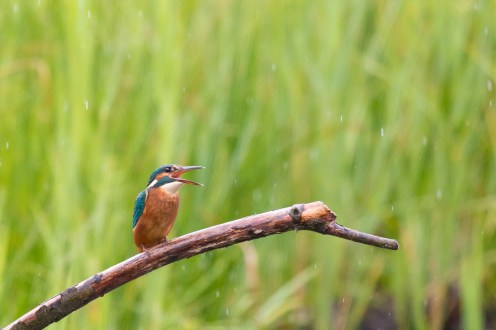 This kingfisher provided a nice flash of colour in the gloomy rain.