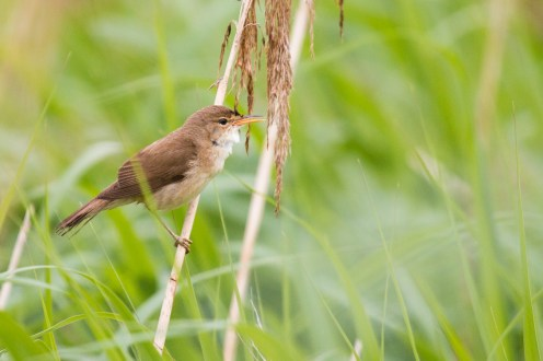 Reed warbler in the amongst the reeds after the rain had passed.