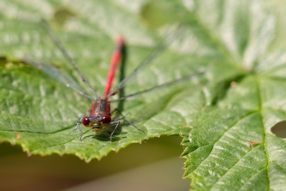 A Large Red Damselfly, sat on a leaf in the sun.