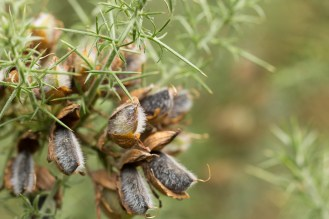 Seed pods forming on a gorse bush.