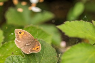 A meadow brown butterfly.
