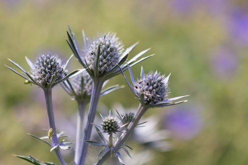 Eryngium flowers starting to come out. (Photos from Pensthorpe Natural Park)