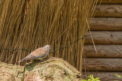A Turtle dove in the enclosure next to the visitor centre. (Photos from Pensthorpe Natural Park)