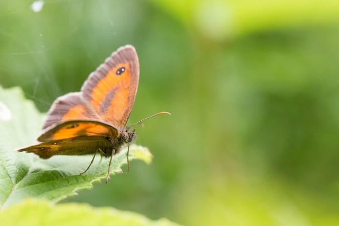 A male Gatekeeper butterfly. Photos from Wildlife Trust Brampton Wood in Cambridgeshire.