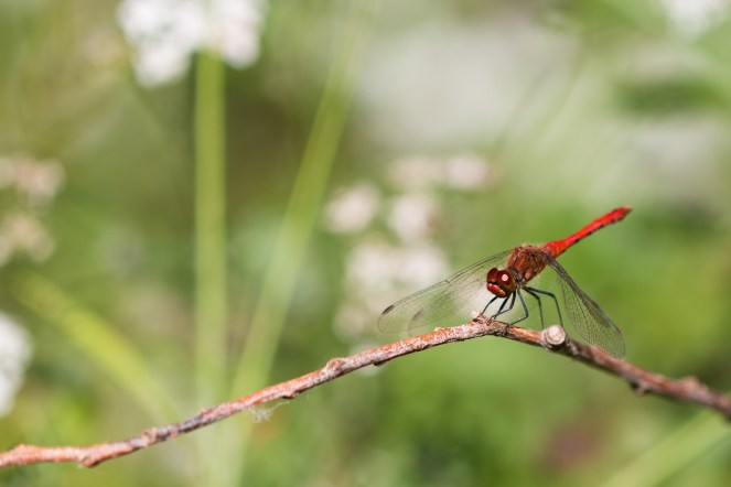 A Ruddy Darter dragonfly perched on a branch. Photos from RSPB Fen Drayton Lakes nature reserve in Cambridgeshire.