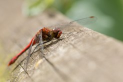 A Ruddy Darter dragonfly looking a lot like a helicopter. Photos from RSPB Fen Drayton Lakes nature reserve in Cambridgeshire.