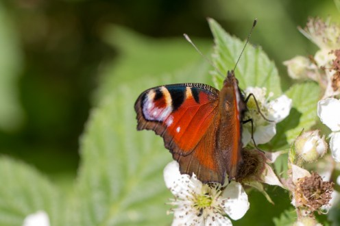 A Peacock butterfly drinking nectar from a bramble flower, in a patch of sunlight at the bottom of the Gullet at Twywell. Photos from Wildlife Trusts Twywell Hills and Dales nature reserve in Northamptonshire, UK.