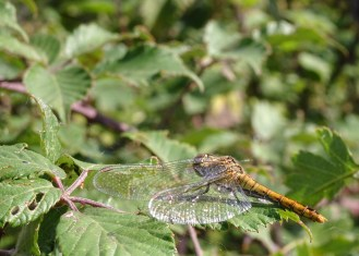 Female Ruddy Darter dragonfly resting in the sun. Photos from a morning walk round Summer Leys nature reserve in Northamptonshire.
