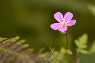Many of the lovely pink flowers of Herb Robert flowering throughout the woodland. Photos from a morning walk round Wildlife Trusts Grass Wood in Yorkshire.