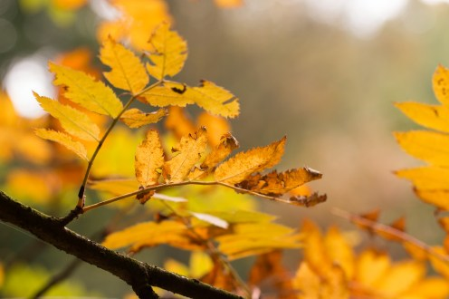 Mountain ash leaves turning golden as autumn sets in. Photos from RHS Harlow Carr in North Yorkshire.