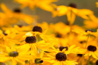 Bright yellow rudbeckia flowers catching the sunlight. Photos from RHS Harlow Carr in North Yorkshire.
