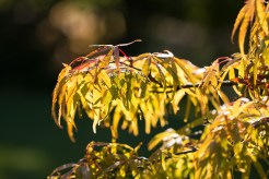Another acer changing to autumn colours and catching the sunlight. Photos from RHS Harlow Carr in North Yorkshire.
