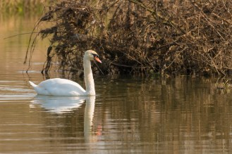 A Mute Swan swimming on the river Nene. Photos from Wildlife Trusts BCN Titchmarsh Nature Reserve.