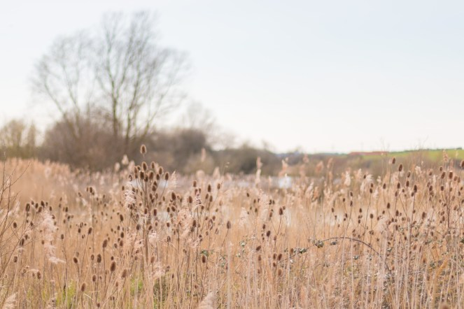Teasels and grass, catching the sun as they were gently swaying in the breeze. Photos from Wildlife Trusts BCN Titchmarsh Nature Reserve.