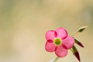 One the pretty pink flowers of the oxalis tetraphylla 'Iron Cross' plant.
