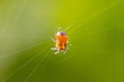 A baby garden spider hanging out in its web.