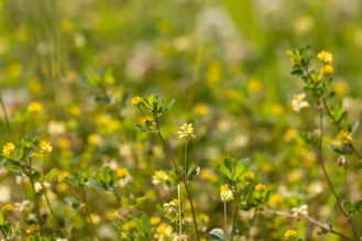A carpet of the yellow flowers of lesser trefoil in the meadow next to Short Wood. A woodland double bill for day 26 of #30DaysWild. Headed out to Wildlife Trusts Short and Southwick Woods.