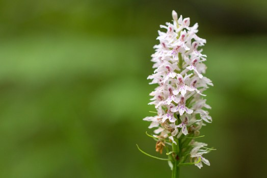 One of several common spotted orchids around the woods. A woodland double bill for day 26 of #30DaysWild. Headed out to Wildlife Trusts Short and Southwick Woods.