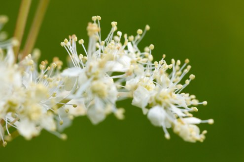 The creamy flowers of meadowsweet in fuul bloom around the woods. A woodland double bill for day 26 of #30DaysWild. Headed out to Wildlife Trusts Short and Southwick Woods.