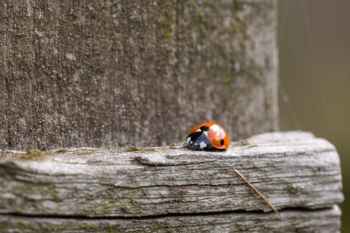 A seven spot ladybird creating a tiny spot of colour against the weathered wood of one of the bird hides. Photos from RSPB Ouse Washes on July 13th 2016.