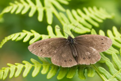 There were a lot of ringlet butterflies around the fen. Photos from Holme Fen on July 14th 2016.