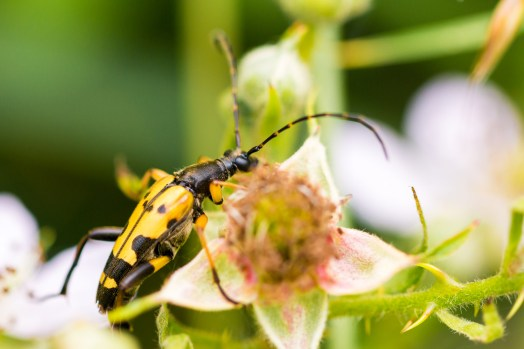 A Black and Yellow Longhorn beetle in amongst the brambles. Photos from Holme Fen on July 14th 2016.