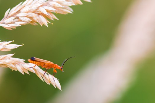 Common red soldier beetle preparing for take-off from a grasss stem. Photos from New Decoy Farm on July 14th 2016.