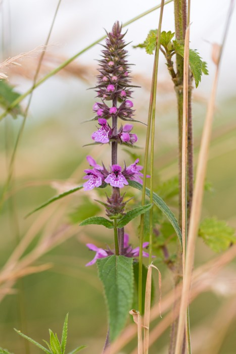 Marsh Woundwort growing in the recreated marshland. Photos from New Decoy Farm on July 14th 2016.