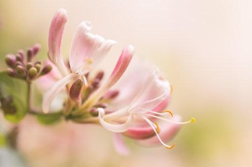 Honeysuckle in full bloom in the garden.