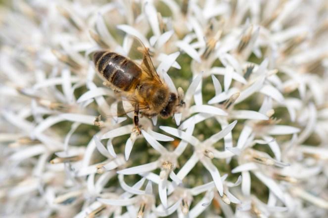 Honey bee on an echinops sphaerocephalus flower in the garden.