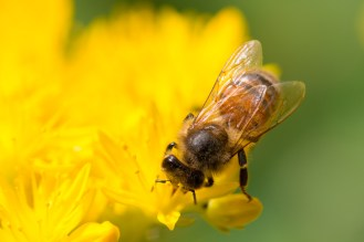 Honey bee on a stonecrop flower.