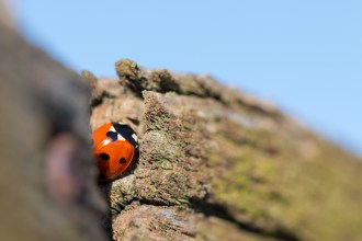 7-spot ladybird nestled in a gap in one of the wooden handrails. Photos from RSPB Ouse Washes.