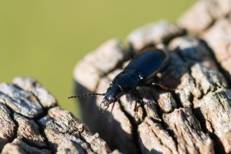 A red legged black clock beetle, sunning itself on top of a wooden post. Photos from RSPB Ouse Washes.