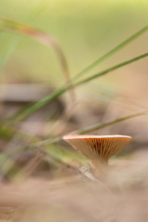 A Milkcap mushroom nestled amongst the leaves on the woodland floor. Photos from Bedford Purlieus national nature reserve in Peterborough.