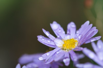Raindrops adding extra interest to aster flowers in the garden.