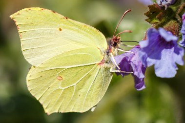First brimstone butterfly I've seen this year, in the garden feeding on the pulmonaria flowers.