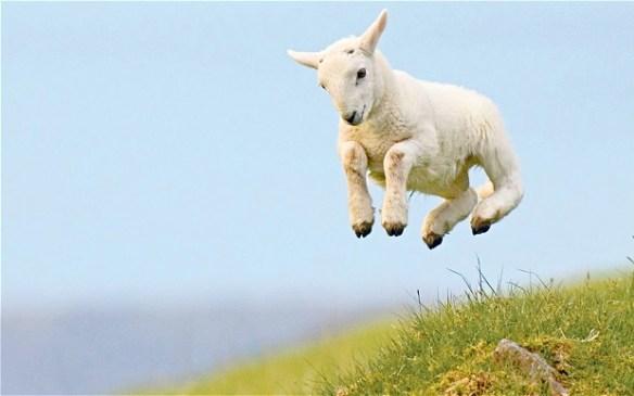 lamb_2181649b