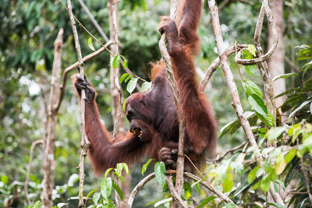 borneo semenggoh orangutan