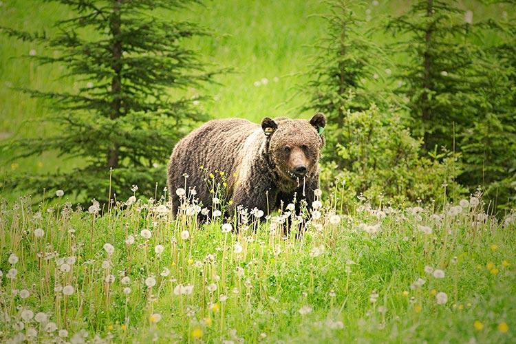 Grizzly Bear Banff National Park Canada