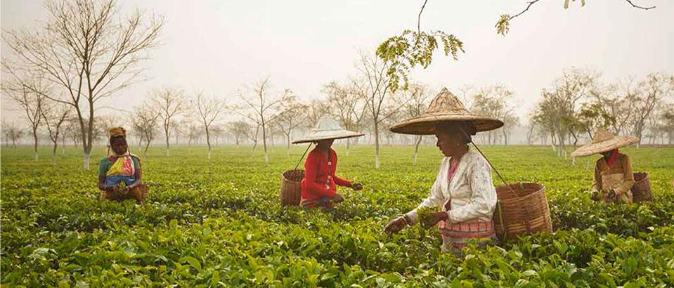 india assam tea
