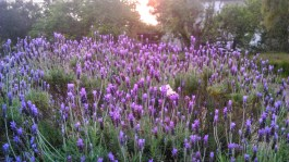 Lavender at Darling Lodge Guest House