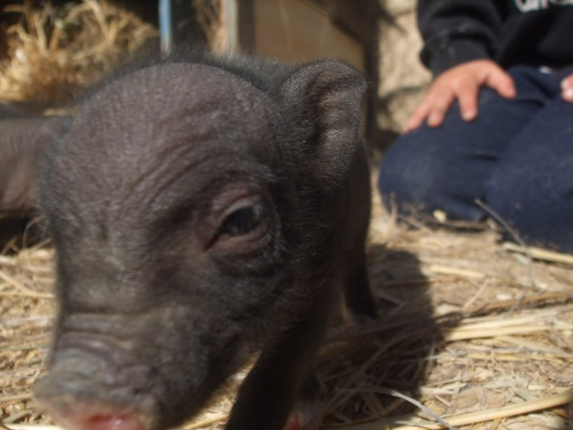 1-day-old piglet