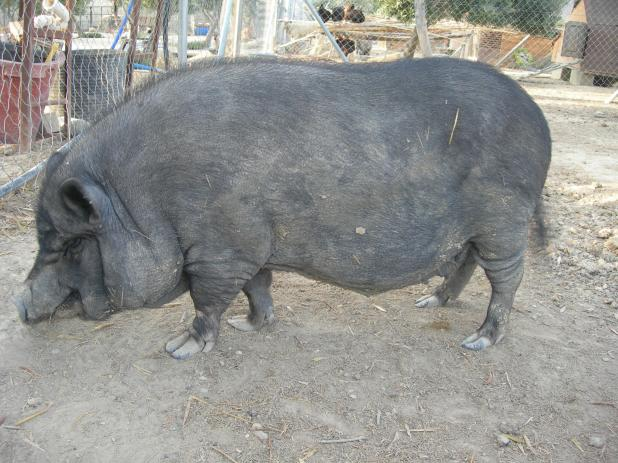 Maggie the sow