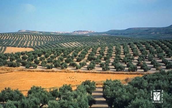 olive-med-03s