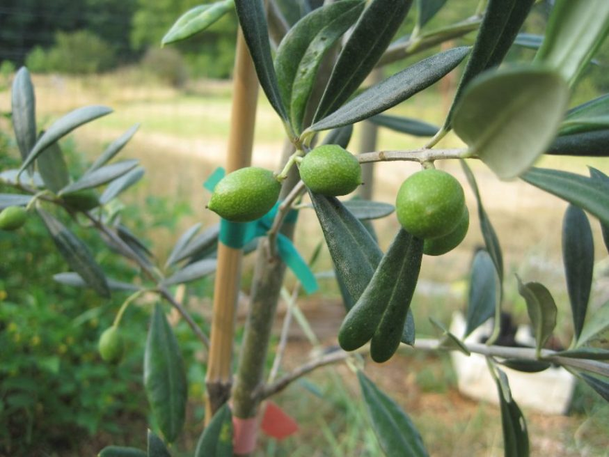 Nocellara olives on a 5 gallon tree in early July 2017