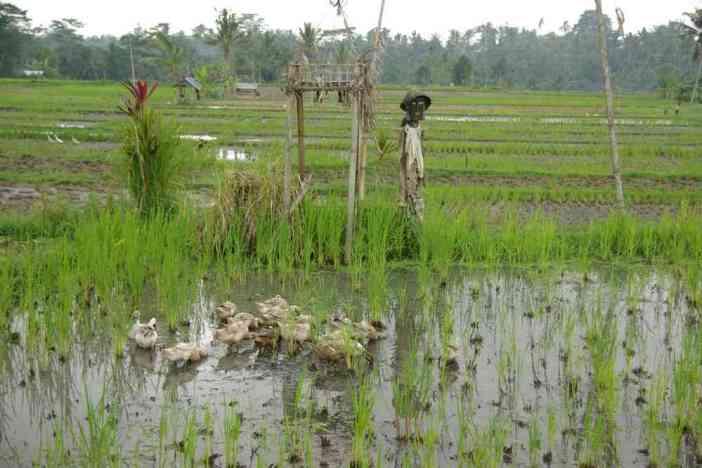 Canards dans une rizière près de Sebatu, le 9 juillet 2007