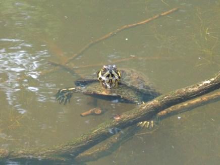 De Geelwangschildpad in Park de Gagel