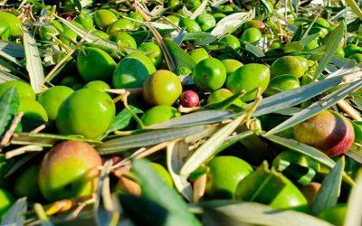 ¿Qué es AOVE? Características de este magnífico aceite