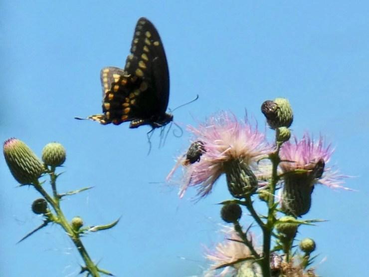 05 Swallowtail